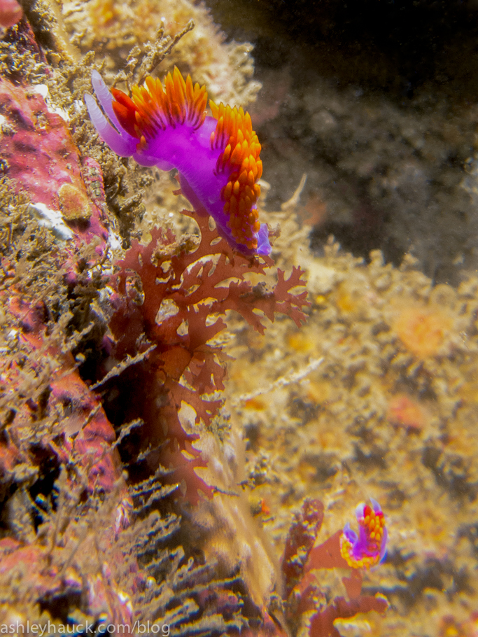 Spanish Shawl Nudibranch and juvenile Spanish Shawl in Point Loma Kelp Beds, San Diego