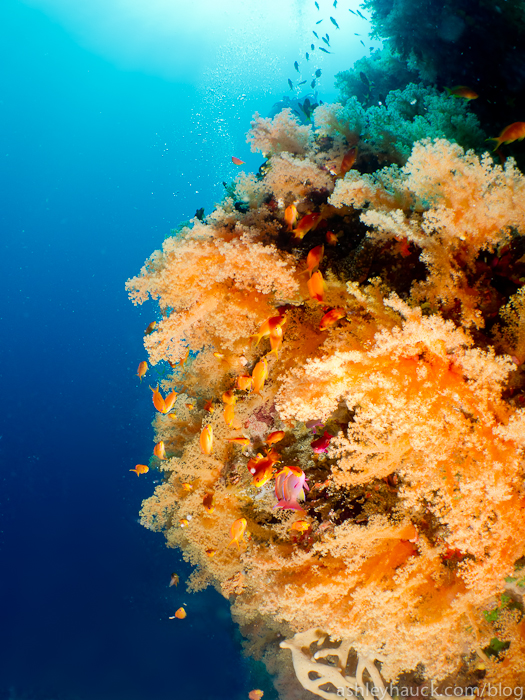 Fiji soft coral in bloom