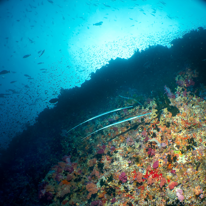 Pipefish and coral reef in Fiji