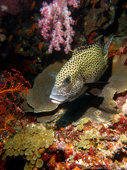 Grouper in Fiji