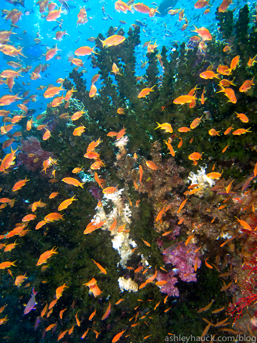 Healthy Fiji coral reef