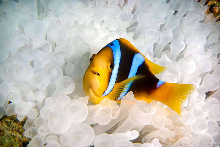 Clownfish in Fiji