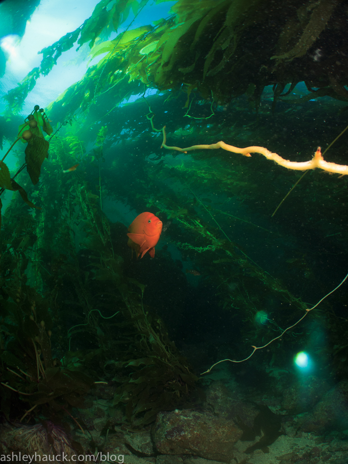 California Kelp Forest with Garabaldi