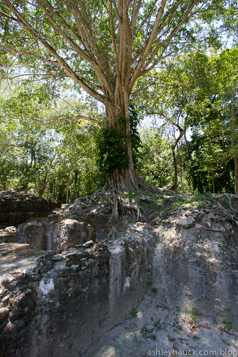 Tree roots on Lamanai Ruins, Belize