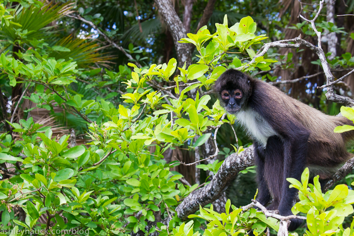 Spider Monkey on the New River, Belize