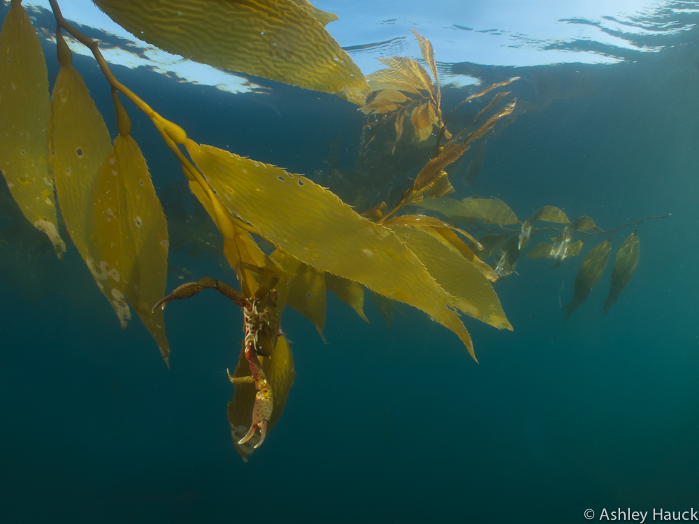 2012-08-18 - Point Loma Kelp Crab-14