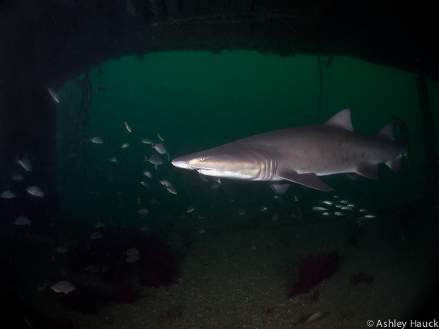 North Carolina Sand Tiger Shark-9