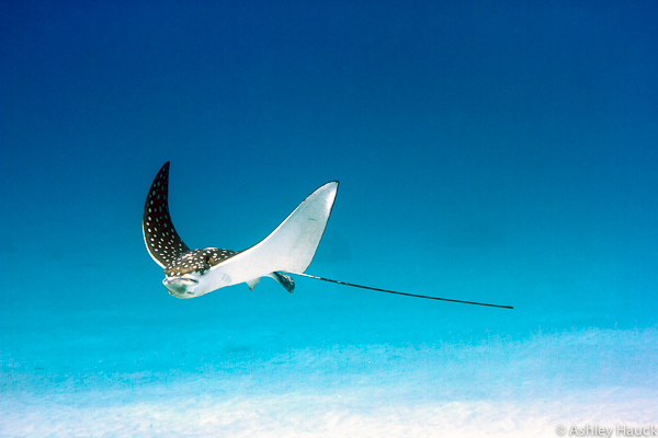 Spotted Eagle Ray in Curacao