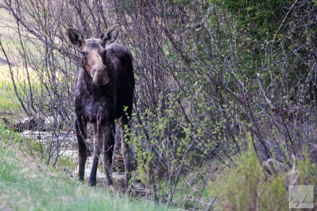 A moose in Moose Alley, Pittsburg, NH