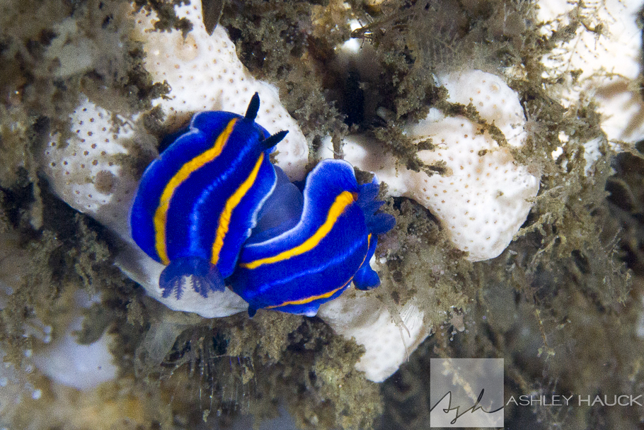Mexichromis nudibranchs