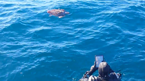 Sea Turtle On Yukon Wreck San Diego Wednesday Roundup: Vegetarian Vampire Squid, Solar Powered Nudibranchs, and a SEA TURTLE in San Diego!