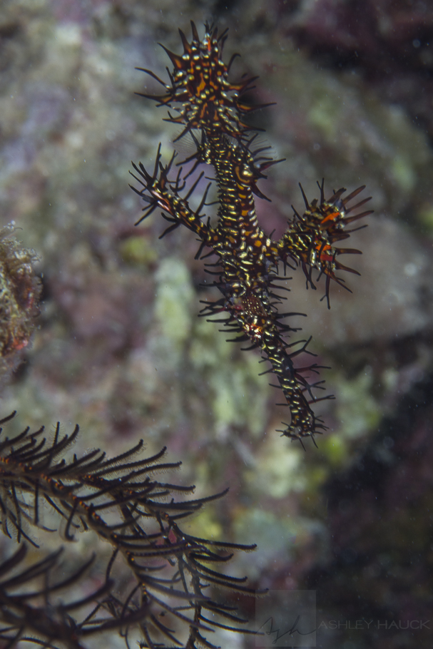 Anilao, Batangas, Philippines: Ornate Ghost Pipefish