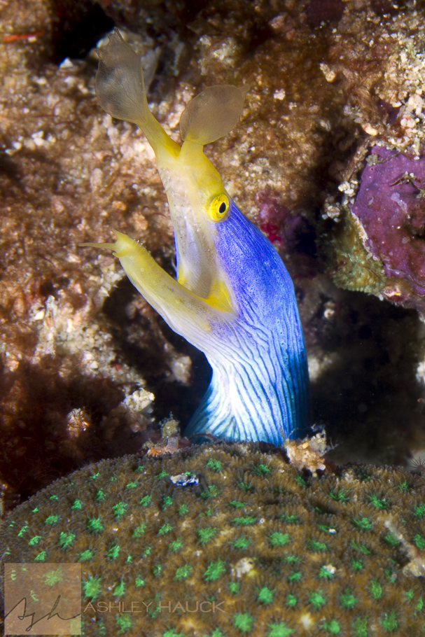 Anilao, Batangas, Philippines: Blue Ribbon Eel