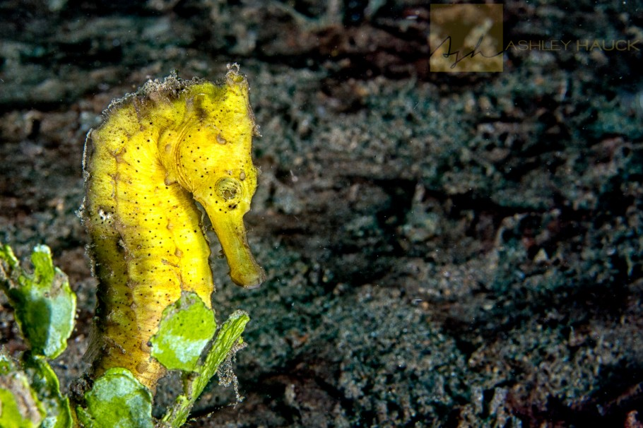 Yellow thorny seahorse (Hippocampus histrix), a member of Sygnathidae