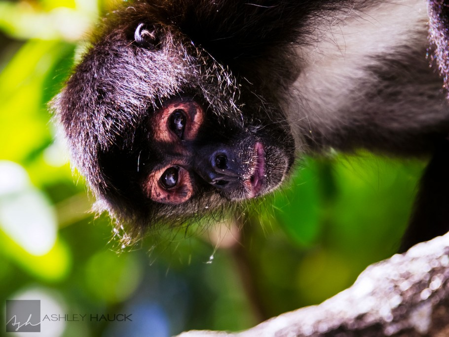 Monkey on the Lamanai River, Belize