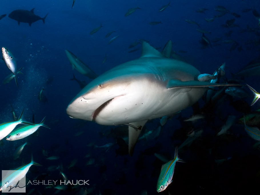 Bull Shark in Fiji