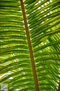 palm frond in Fiji