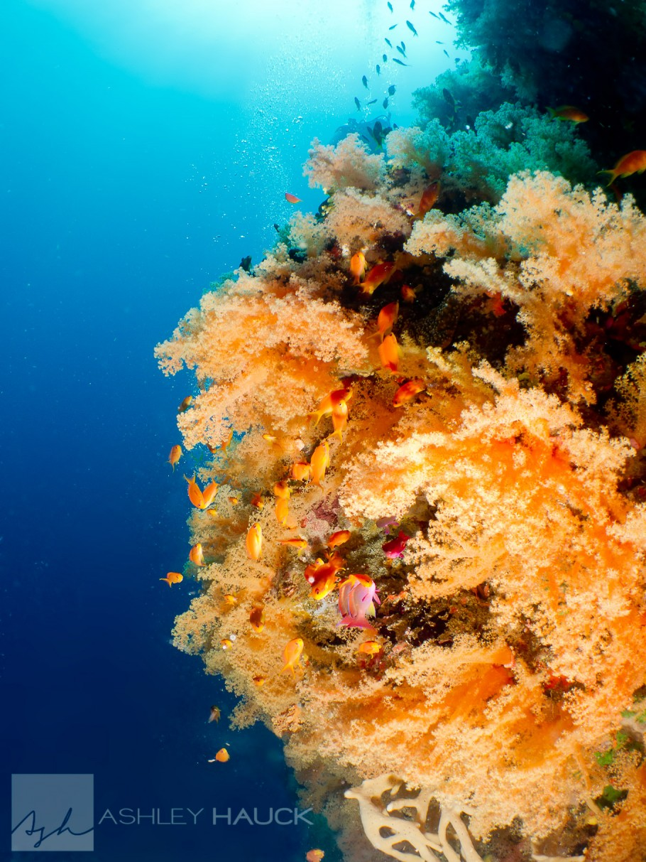 Soft coral in Fiji