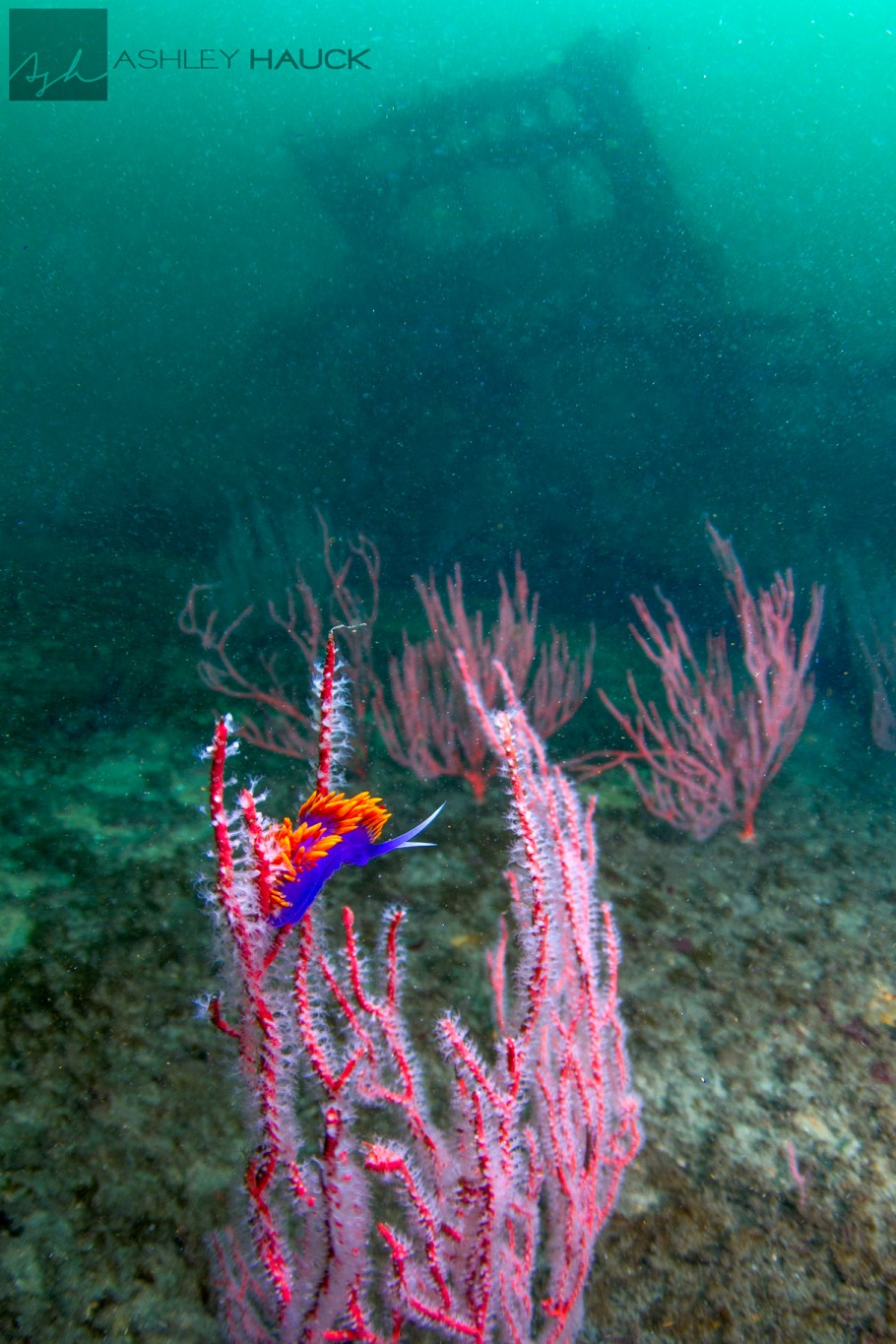 San Diego, California: Spanish Shawl nudibranch on the El Rey Wreck, looking forward toward the kelp-cutting arm in the background.
