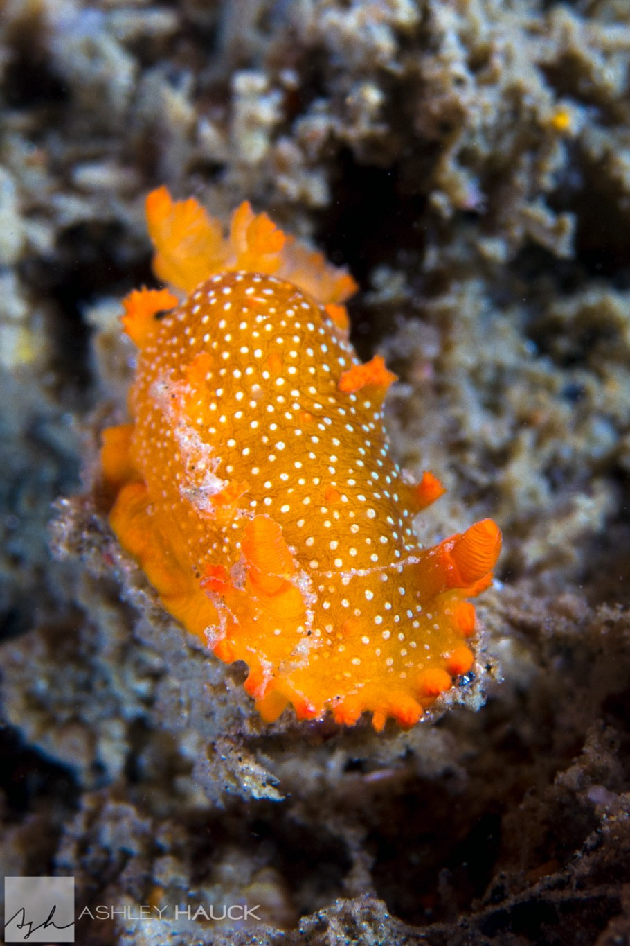 San Diego, California: Spotted Dorid (Triopha maculata) nudibranch on the wreck of the Ruby E.
