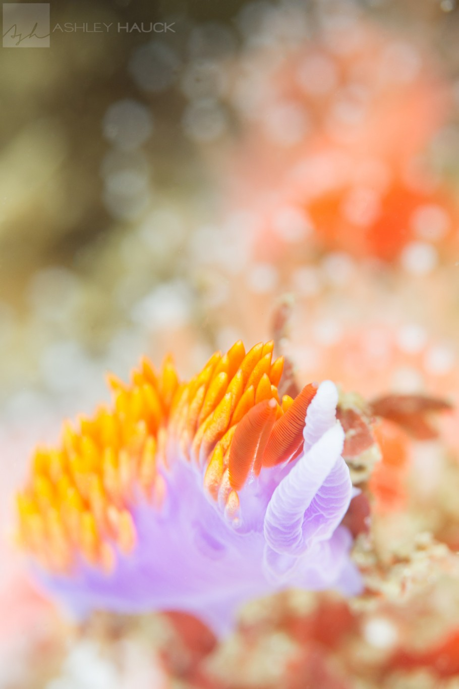 Point Loma Kelp, San Diego, California: Spanish Shawl (Flabellina iodinea) Nudibranch