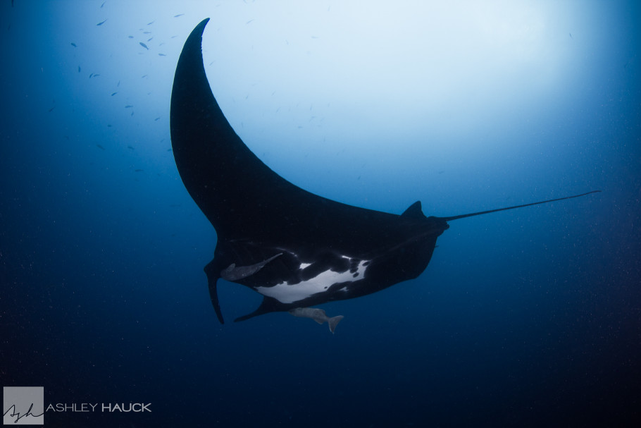 Manta Ray, Socorro Islands